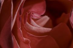 Pink rose petal close-up, macro. Stock Images