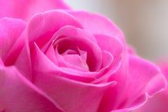 Pink rose petal Royalty Free Stock Photo