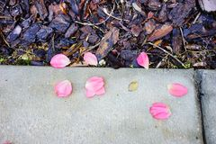 Pink Rose petal. On the ground royalty free stock photos