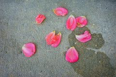 Pink Rose petal. On the ground stock images