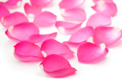 Fresh pink rose petals isolated on the white Stock Photography