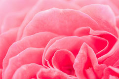 Pink rose petal,nature abstract concept. Royalty Free Stock Image