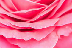 Pink rose petal,nature abstract concept. Royalty Free Stock Photography