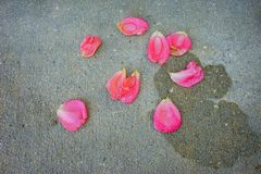 Pink Rose petal. On the ground royalty free stock photography