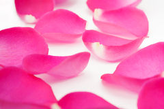 Pink rose petals Royalty Free Stock Photography