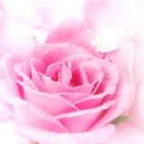 Pink Rose Petals Stock Image