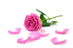 Pink Rose and Petals Royalty Free Stock Images