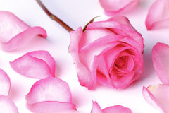 Pink rose and petals. Pink rose surrounded by petals on white background royalty free stock photography