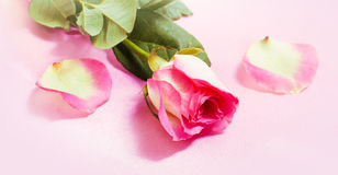 Pink rose and petals stock images