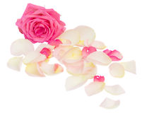 Pink rose with petals Royalty Free Stock Photography