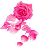 Pink rose with petals. Isolated on white background stock photography