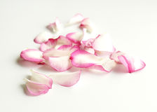 Pink rose petals. Romantic pink rose petals on white background Royalty Free Stock Images