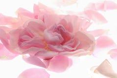 Pink rose petals Royalty Free Stock Photos