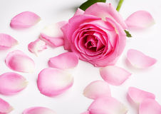 Pink Rose Petals Royalty Free Stock Photo