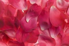 Pink rose petals Royalty Free Stock Image