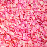 Pink rose petals. Background Royalty Free Stock Photo