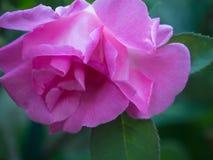 Pink Rose petals blooming in the garden. Pink Rose petals blooming in the spring Brooklyn Botanical Garden Stock Photo