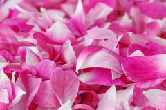 Pink rose petals. Close up of pink rose petals Stock Photography