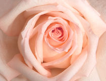 Pink Rose petals closeup Royalty Free Stock Photography