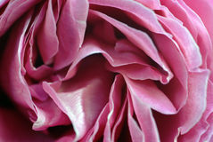 Pink Rose Petals Closeup Royalty Free Stock Image