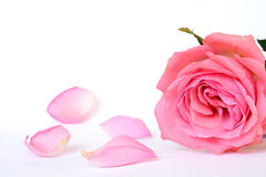 Pink rose petals with empty room copy space. Detail of Romantic empty grey white serene background with four pink rose leaves with empty room copy space Royalty Free Stock Image