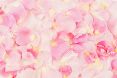 Pink rose petals. Flat lay, top view. Background of petals royalty free stock photo
