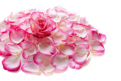Pink rose petals. Stock Photo