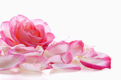 Pink rose petals. Pink rose petals and rose isolated on white stock image