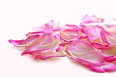 Pink rose petals. Pink rose petals isolated on white royalty free stock image