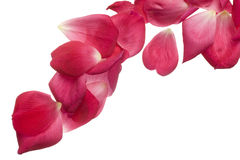 Pink rose petals isolated on white. Royalty Free Stock Images