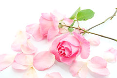 Pink rose and petals Stock Image