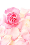 Pink rose and petals Stock Photos
