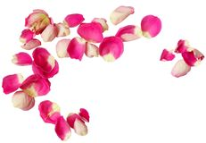 Pink rose petals. Isolated on white background. Top view. Flat lay royalty free stock image