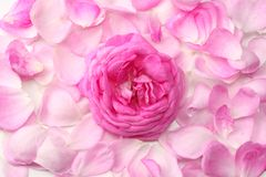 pink rose petals isolated on white background. top view royalty free stock photos