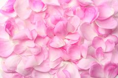 pink rose petals isolated on white background. top view stock images