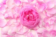 pink rose petals isolated on white background. top view stock photo