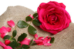 Pink rose with petals on linen fabric Royalty Free Stock Photos
