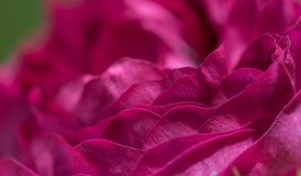 Rose Flowers Petals Background royalty free stock photo