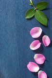Pink rose petals over dark blue background Stock Photo