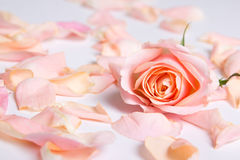 Pink rose petals over white background Royalty Free Stock Image