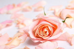 Pink rose and petals over white background Stock Image