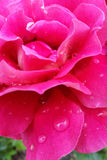 Pink rose petals. Rain drops on rose petals Stock Photos