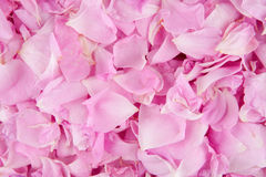 Pink rose petals. Scattered as a background royalty free stock photos
