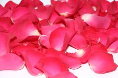 Pink rose petals are scattered on the table stock image