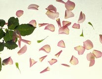 Pink Rose Petals on white. Background royalty free stock images
