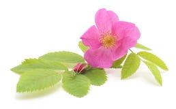 Pink rose with petals. Pink rose with petals on white background royalty free stock photos