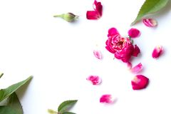 Pink rose petals. On white background royalty free stock photography