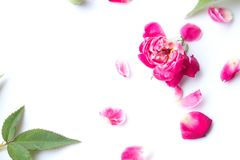 Pink rose petals. On white background stock photography