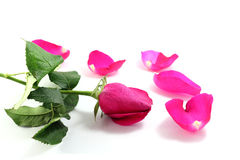 Pink rose and  petals. On white background Stock Photography