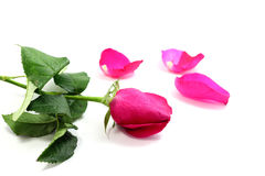 Pink rose. And  petals  on white background Royalty Free Stock Photos